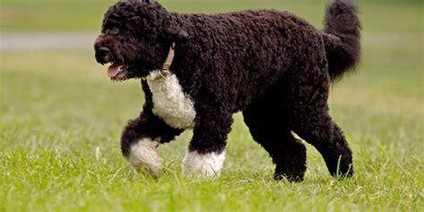 top 10 hypoallergenic dogs dog breeds picture
