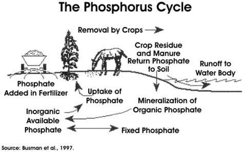 phosphorus cycle cycles pinterest agriculture