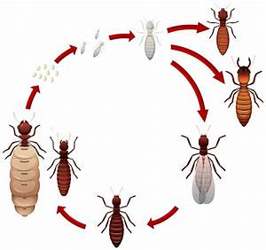 A Termite Life Cycle