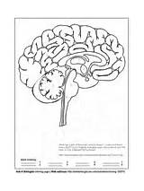 Coloring Human Pages Asu Anatomy Sparky Brain Animal Body Colouring Template Science sketch template