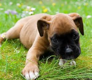 Cute Baby Boxer Puppies