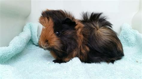 Black And Brown by Black And Brown Peruvian Guinea Pigs Hatfield