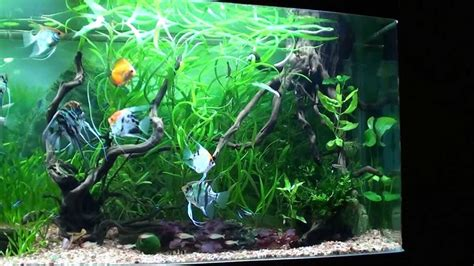 cristian angel fish planted tank  gal part  youtube