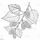 Mulberry Outline Vector Leaves Branch Berry Morus Coloring Background Drawing Bunch Ripe Illustration Clip Fruit Isolated Summer Illustrations Plant Contour sketch template