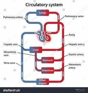 Circulatory System Labeled Diagram