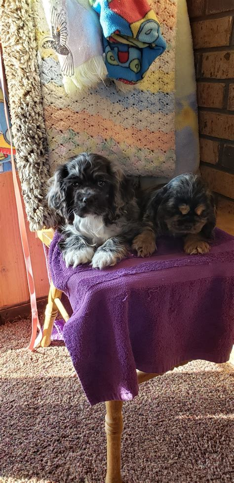 Breeding for quality, not quantity with cocker. Parti Color Cocker Spaniels - Puppies For Sale at Penny Lane Cocker Spaniels