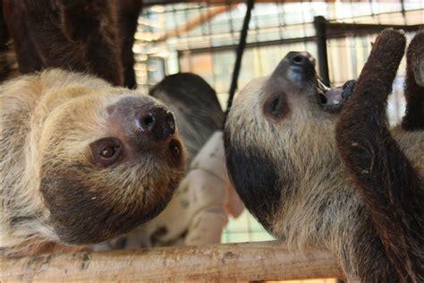 sloths seized  olympia  oregon based center turning