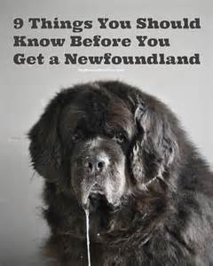 1000 images about newfies and dogs on newfoundland dogs newfoundland and