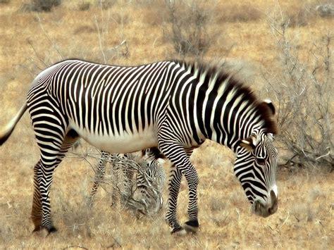 zebra africa hd desktop wallpaper high quality