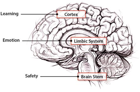 3 Sections Of The Brain by What Are The Social And Emotional Needs Of The Brain