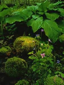 Swamp Skunk Cabbage