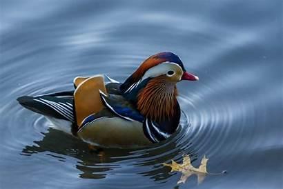 Duck Mandarin York Pond Central Park Enraptured
