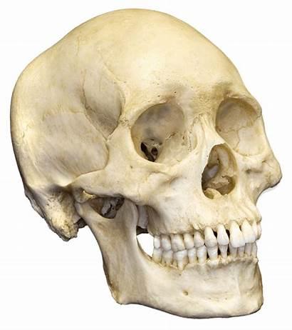 Skull Transparent Skulls Skeleton Human Roman Teeth