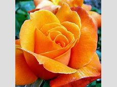 Trandafiri poze 35 imagini superbe cu flori de