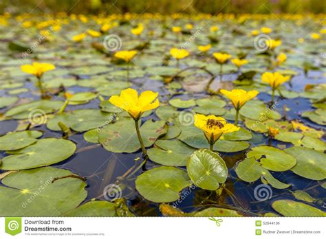 what do water lilies eat fringed water lily stock photo image 52644136