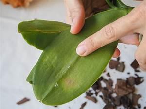 Orchideen Klebrige Blätter : orchideen sch dlinge regelm ige kontrolle ist erforderlich ~ Whattoseeinmadrid.com Haus und Dekorationen