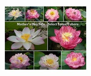 Mother's Day Sale on Select Lotus Tubers - Bergen Water ...