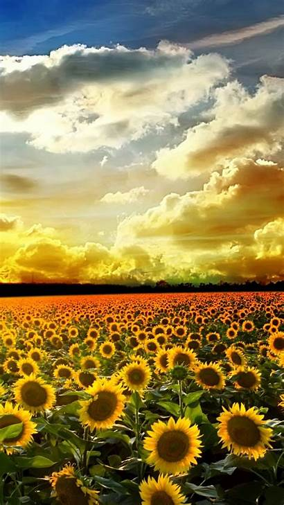Sunflower Iphone Wallpapers Plus Flowers Sunflowers Background