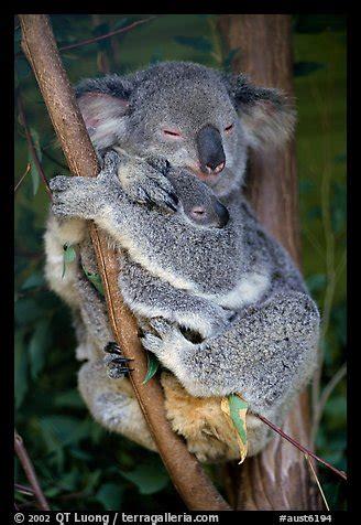 picturephoto koala  cub australia