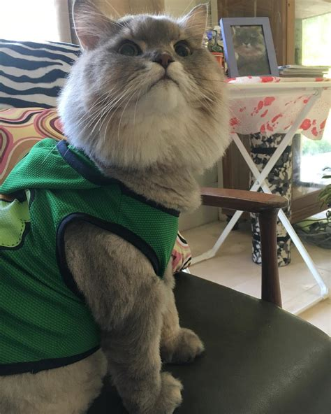 meet bone bone  big fluffy cat  thailand