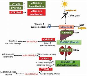 Overview Of The Pathways For Vitamin D Synthesis