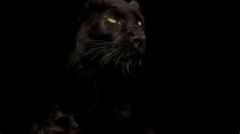 black panther animal wallpapers top free black panther