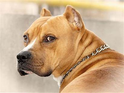 Pitbull American Wallpapers Dog Cave