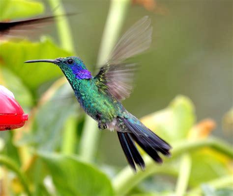 Bellas Aves De El Salvador Colibri Thalassinus (colibrí