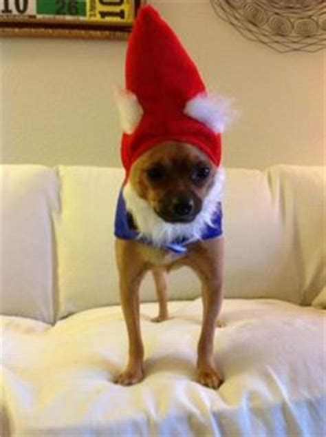 chihuahuas dressed ridiculously cute  pinterest