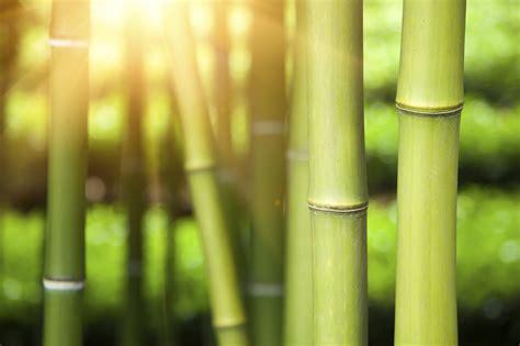 Pflanzen Im März by Bambus Pflanzen Im M 228 Rz Aktiv Werden Gartenpflanzen