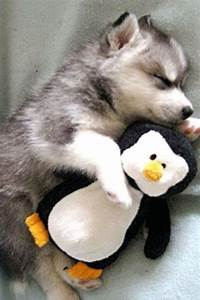 Baby huskies, Husky and Penguins on Pinterest