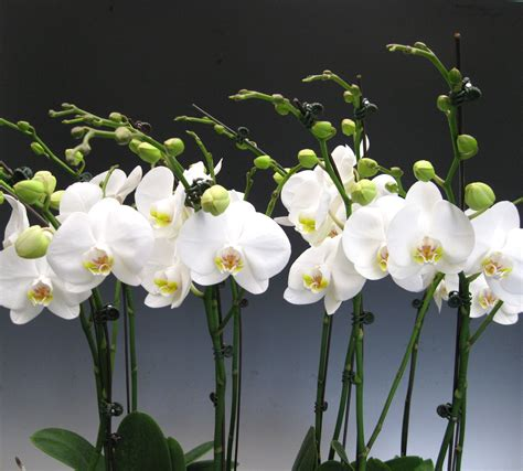 orchid plant orchid plants white phalaenopsis orchidaceous orchid blog