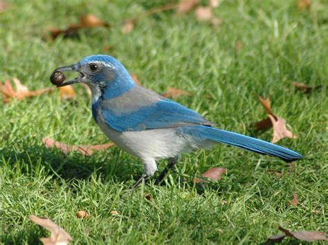 file western scrub jay holding an acorn at waterfront park