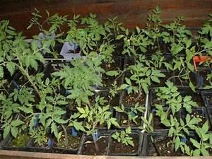 Planter Des Graines De Tomates : astuces et entretien lejardindetitou ~ Dailycaller-alerts.com Idées de Décoration