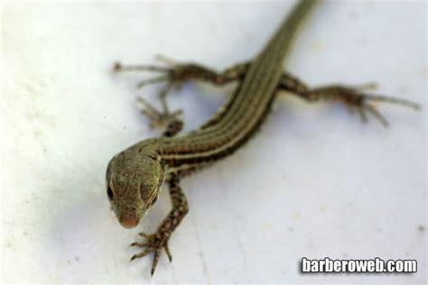 fotos de animales barbero web  de