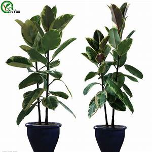 Online Buy Wholesale rubber tree plant from China rubber ...