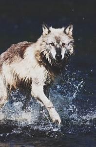 Wolf Photography Tumblr | www.imgkid.com - The Image Kid ...