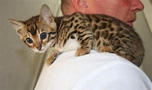 Brown spotted Bengal kittens for sale in Fife ...