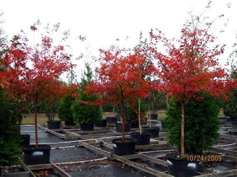 Natchez Crepe Myrtle Fall Color | Outdoorsy Stuff ...