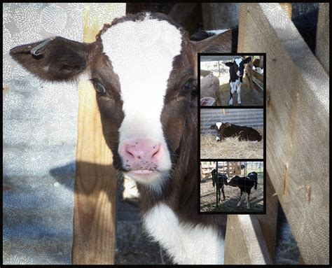 Bottle Feeding Baby Calves Calf Diarrhea Or Scours In