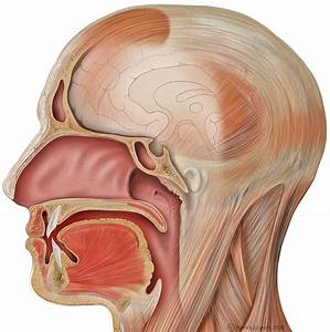 Oral And Nasal Cavity  Illustration