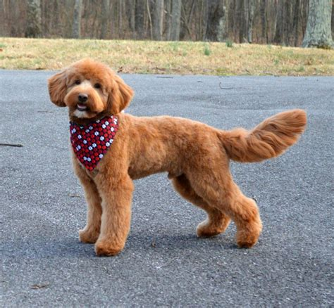 Goldendoodle Association Of North America All About