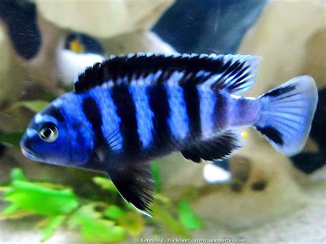 poisson africain aquarium eau douce poissons d eau douce dans aquabdd nouveaut 233 s page 20