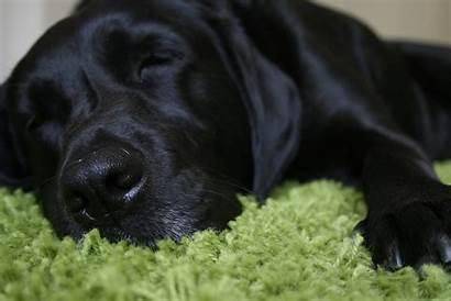 Labrador Lab Retriever Puppies Characteristics Majestic Noble