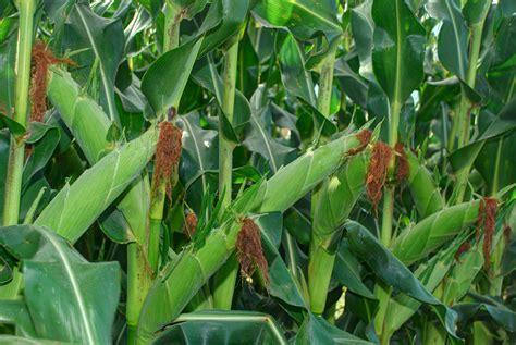 zambian crop institute develops seed varieties suited