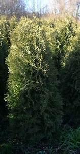 Thuja Smaragd Wachstum : thuja occidentalis 39 columna 39 oder s ulenthuja columna ~ Michelbontemps.com Haus und Dekorationen