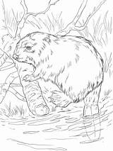 Beaver Coloring Animal Recommended sketch template