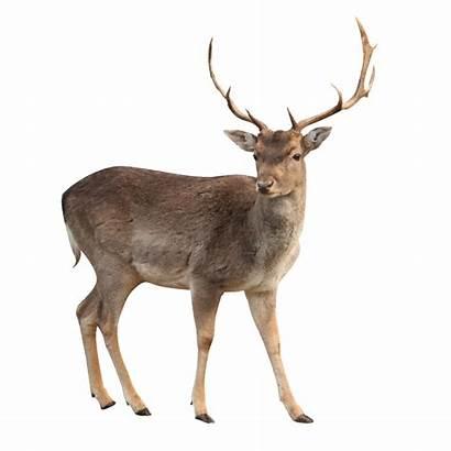 Deer Brown Standing Transparent Purepng