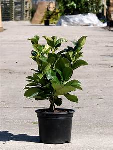 Prunus Laurocerasus Etna : laurel etna prunus laurocerasus etna hedges direct ~ Watch28wear.com Haus und Dekorationen