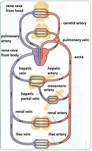Arteries  Veins And Capillaries